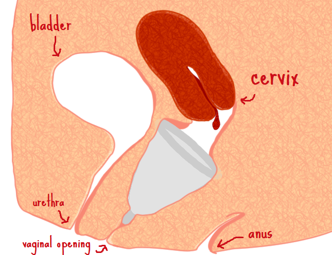 Diagram showing you where the menstrual cup goes